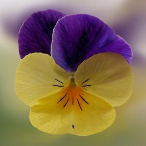 عکس گل بنفشه با کیفیت بالا