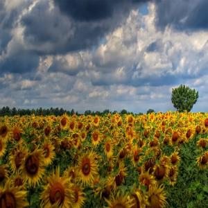 عکس مرزرعه گل های آفتابگردان