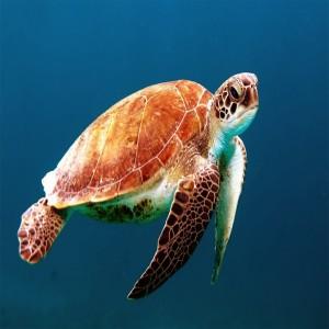 عکس لاکپشت زیر آب دریا