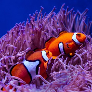 عکس دلقک ماهی در زیر آب با کیفیت