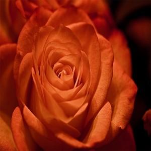 عکس گل زر قرمز با کیفیت بالا