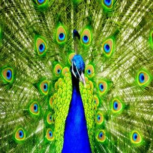 عکس طاووس آبی با کیفیت بالا