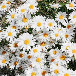 عکس گل بابونه با کیفیت بالا