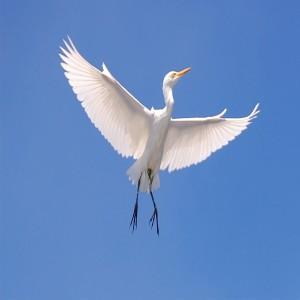 عکس لک لک در حال پرواز در آسمان آبی