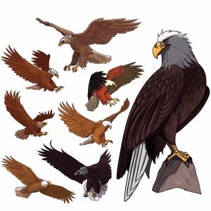 لایه باز عقاب در حالت های مختلف پرواز ونشسته